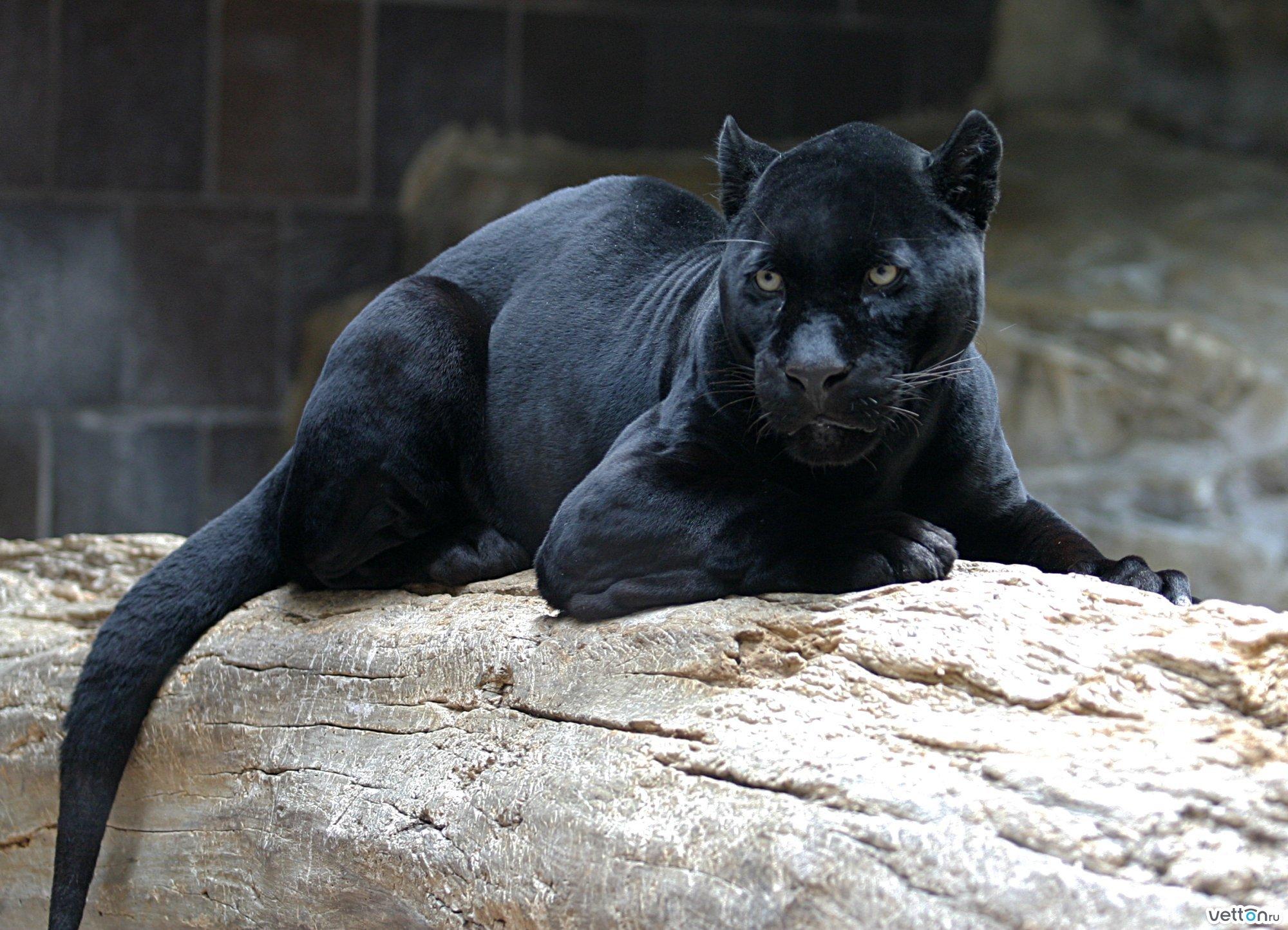 Обои №20715 2000x1444 дикие кошки животные
