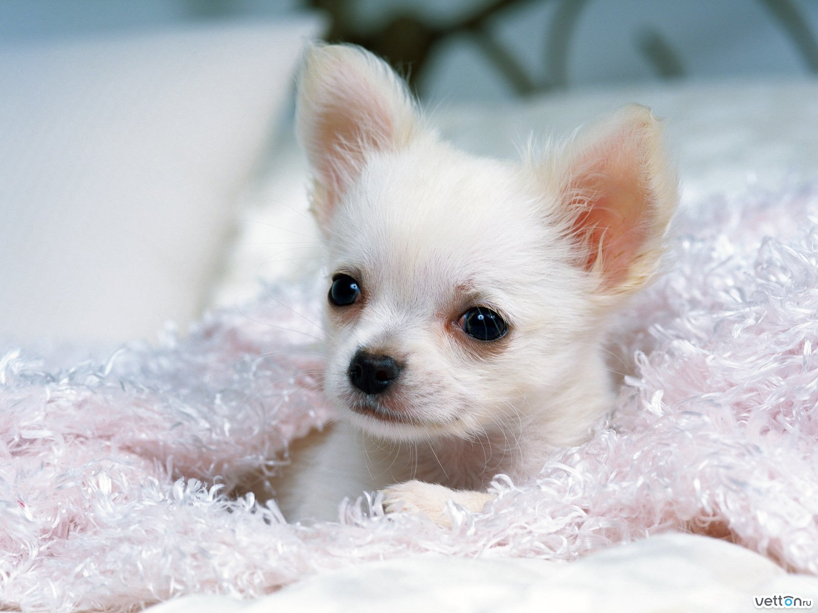 карманные собачки on We Heart It / visual bookmark #66608570. карманные собачки We Heart It.